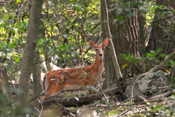 Whitetail deer on Appalachian Trail