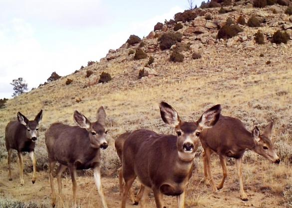 Deer in Wyoming