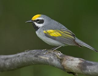 Golden-winged warbler is a small songbird found in the North-central and Eastern U.S.