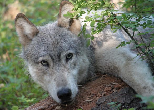 Gray Wolf from Wenaha Pack