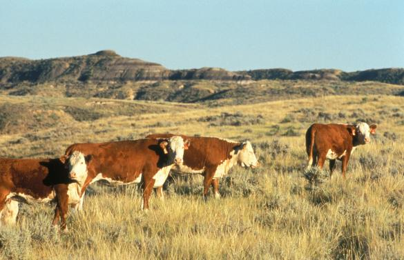 Cattle Grazing in Montana