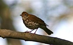 Wood Thrush, Credit: Henry T McLin, Flickr