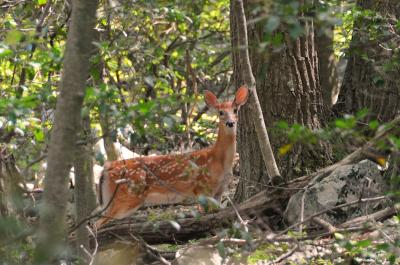 Whitetail Deer on the Appalachian Trail