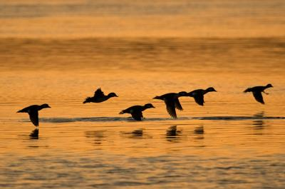 Buffleheads taking flight