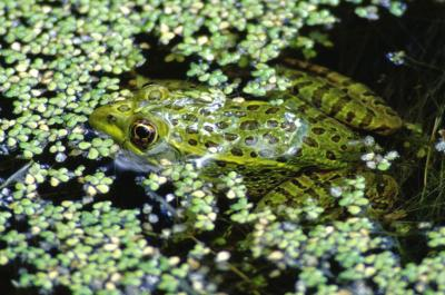Chiracahua Leopard Frog