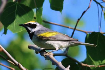 image of Golden-winged warbler