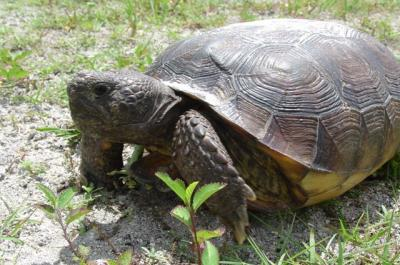 image of Gopher Tortoise, Photo Credit: FWS Fish and Wildlife Research Institute, Flickr