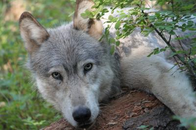 Gray Wolf from Wehana Pack