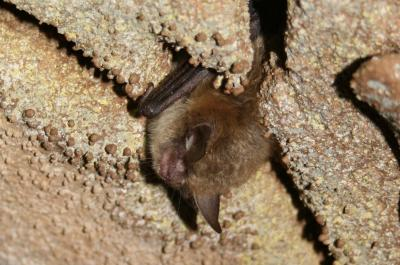 Hibernating northern long-eared bat