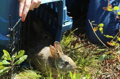 Releasing a New England Cottontail