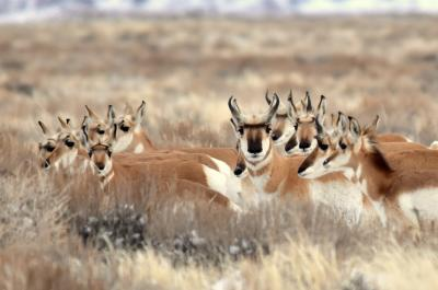 Pronghorn at Seedskadee National Wildlife Refuge