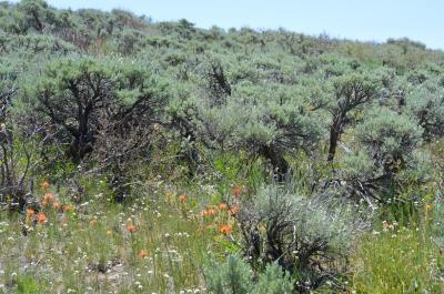 Sagebrush plants