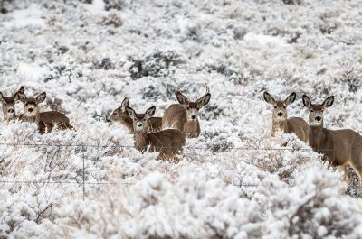Wintering Deer in Oregon