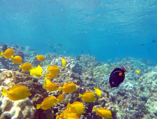a school of Yellow Tang