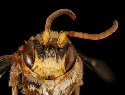 Nomada maculata. a clepto-parasitic bee