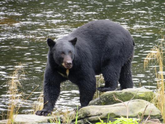 Black bear in Alaskas