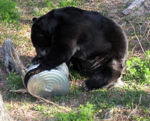 Black bear exploring garbage container