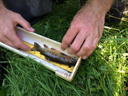 Trout research