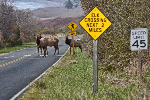Elk crossing a highway