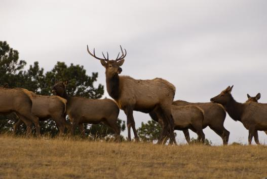 An elk herd in Colorado