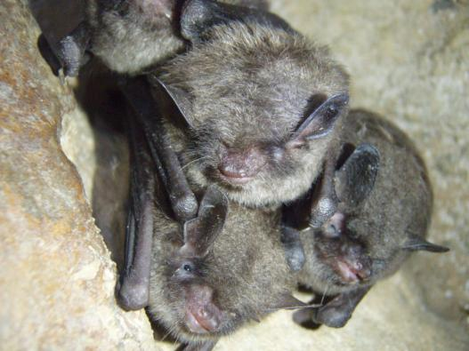 Bats in Indiana