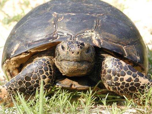 Longleaf Tortoise