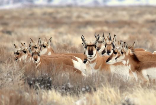 Pronghorn at Seedskamee National Wildlife Refuge