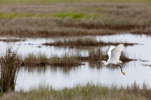 Snowy Egret flies over Deal Island